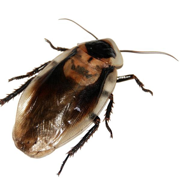 cockroach control brisbane pest nett