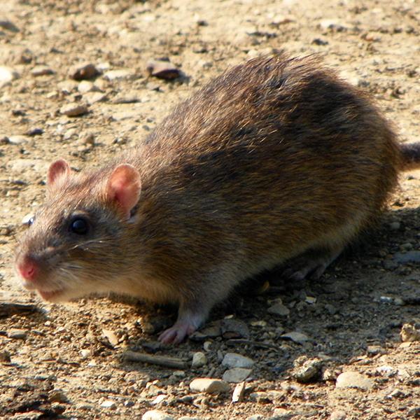 rodent control brisbane pest nett