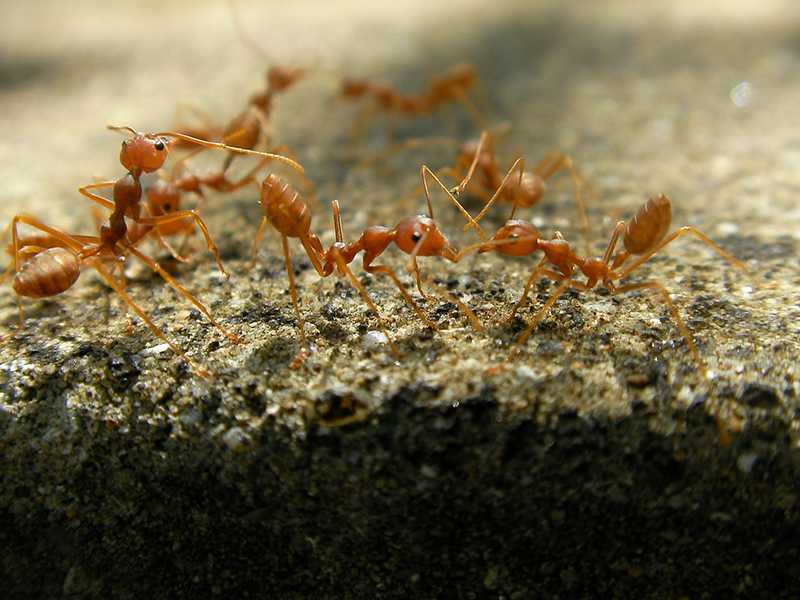 fire ant eradication
