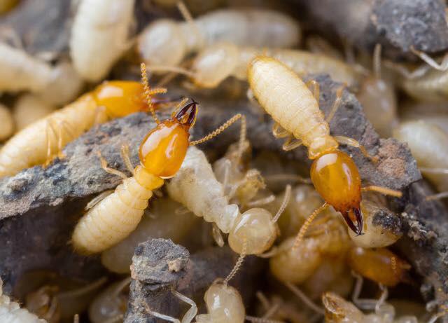 termite inspections pest nett brisbane
