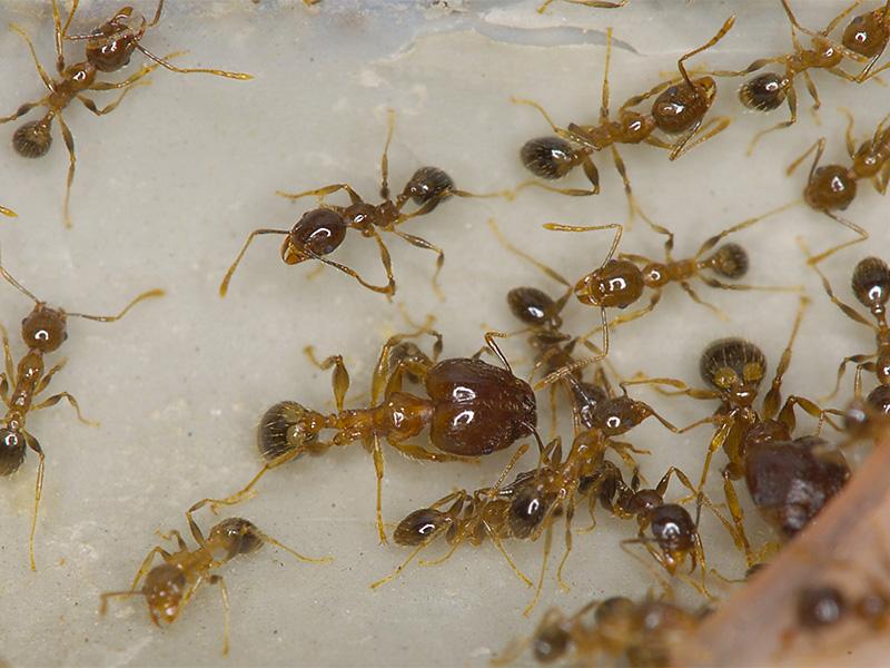 coastal brown ant