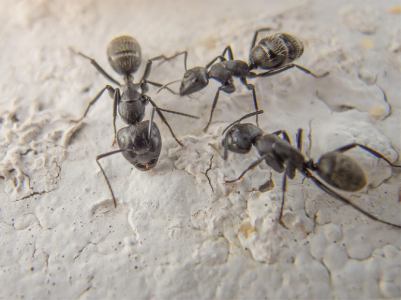 small black ants