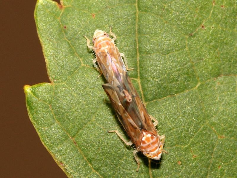 leafhoppers pest nett