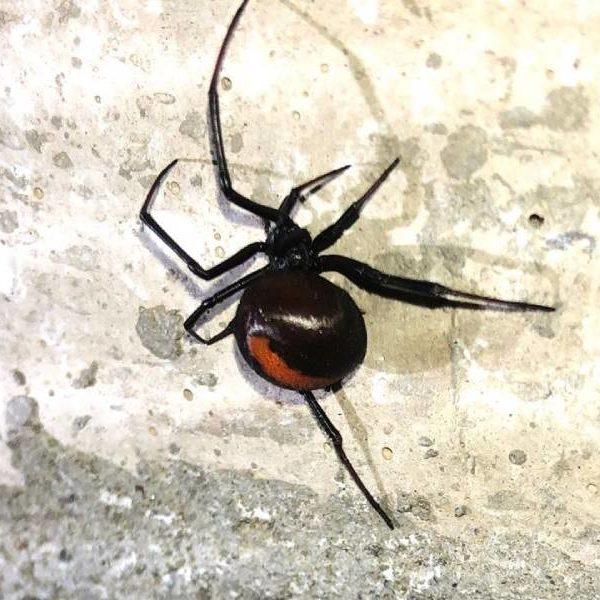 redback spider control windsor
