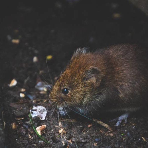rodent control services brisbane