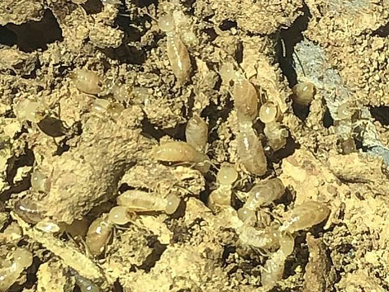 termite inspection bulimba pest nett