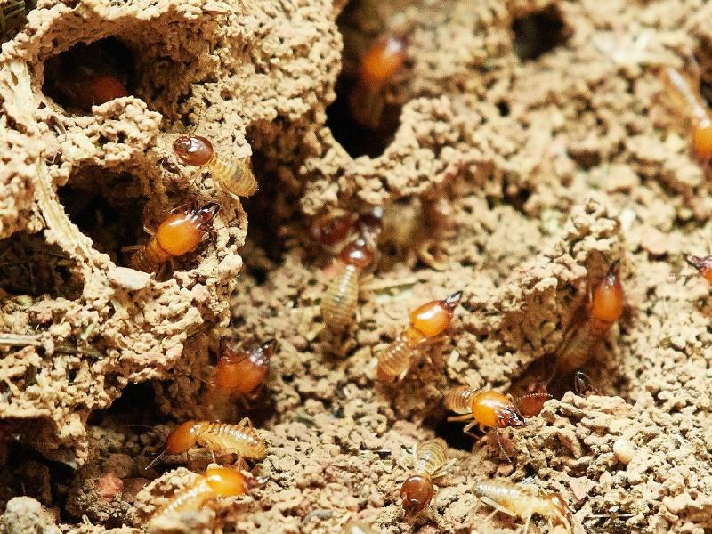 termite chemical zone pest nett