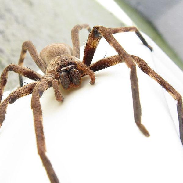 huntsman spider control pest nett