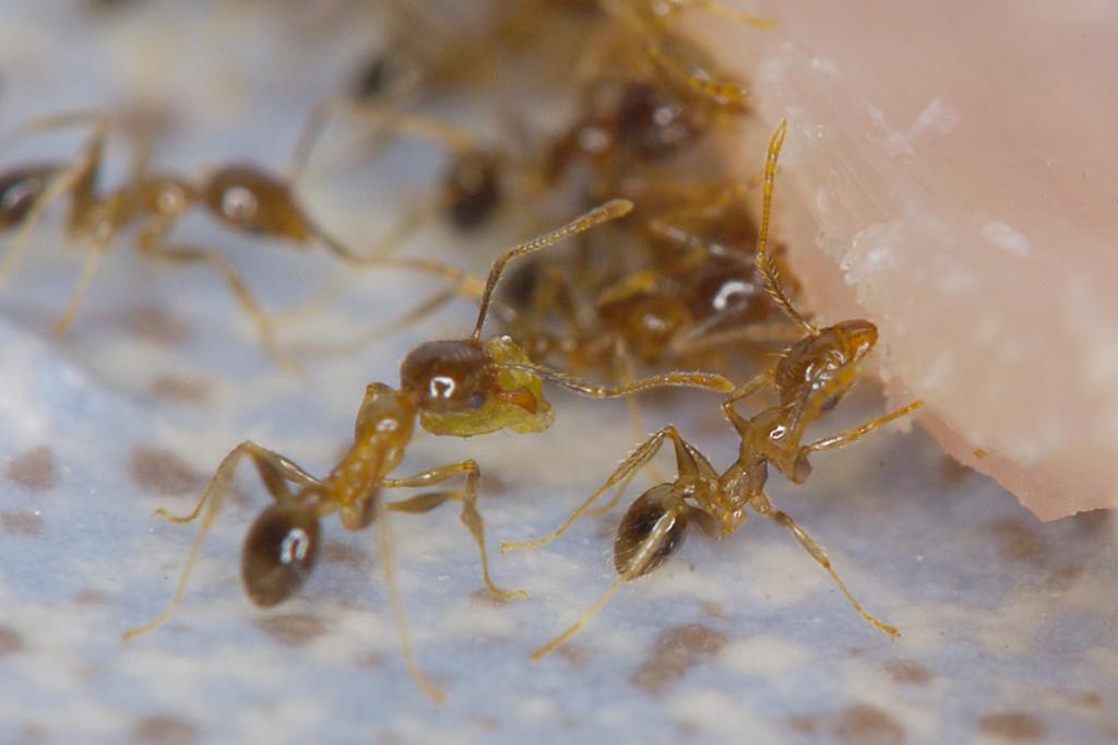 Coastal ant