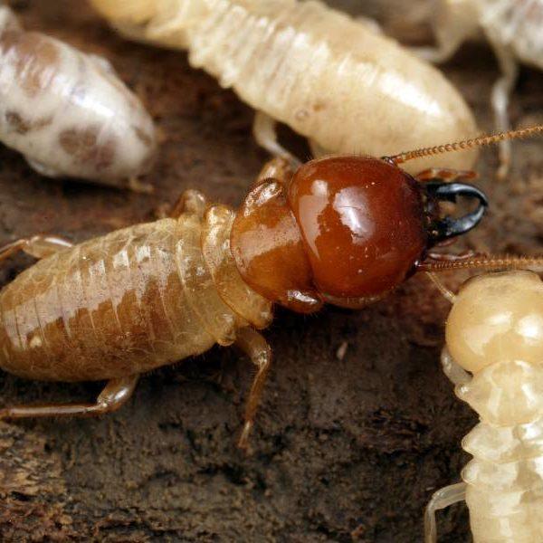 termites seq pest nett